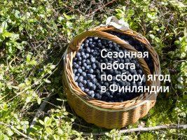 Заработок на сборе лесных ягод в Финляндии